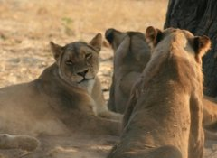 Africa Adventure Travel - Löwen im Hwange Nationalpark