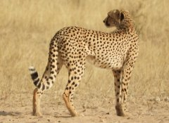 Africa Adventure Travel - Gepard im Kgalagadi Nationalpark
