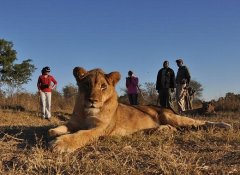 Lion Encounter, Tierwelt & Natur in Victoria Falls