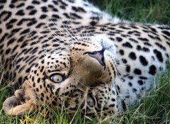 Leoparden bei Pumba Game Reserve Safaris