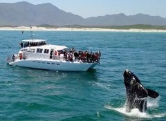 Southern Right Charters, Walbeobachtung in Hermanus