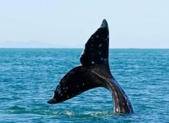 Walflosse bei The Whale Watchers in Hermanus in Overberg