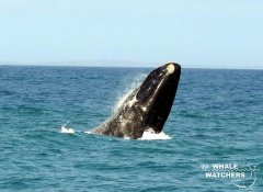 Springender Wal bei The Whale Watchers in Overberg