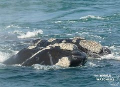 Südlicher Glattwal bei The Whale Watchers in Hermanus